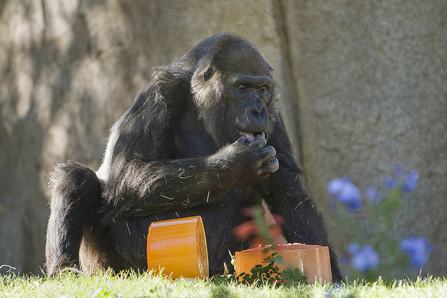 gorilla eating cake