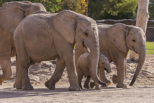African elephant calf with family