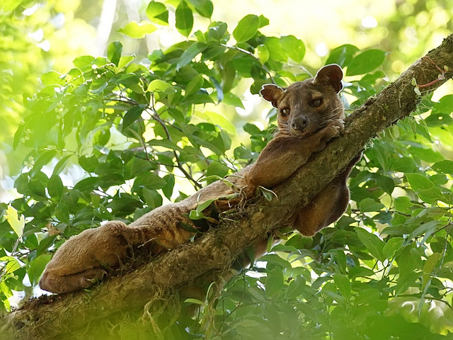 Fossa in tree