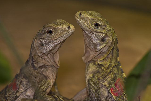 Grand Cayman blue iguanas