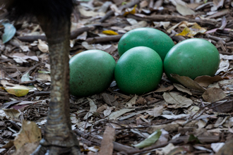 Green eggs of a Southern Cassowary