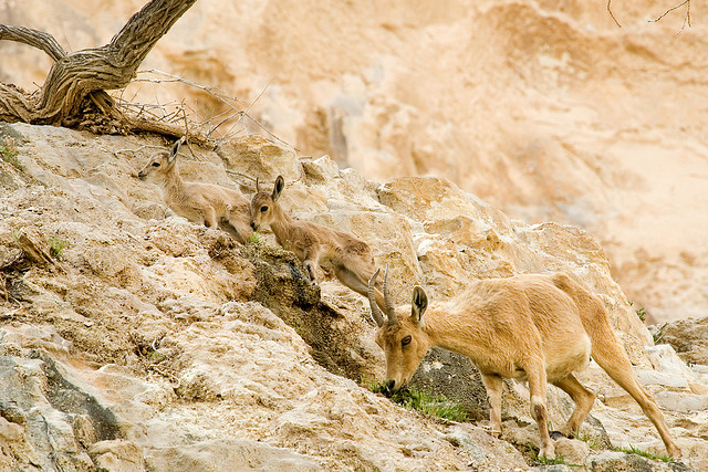 ibex and kid