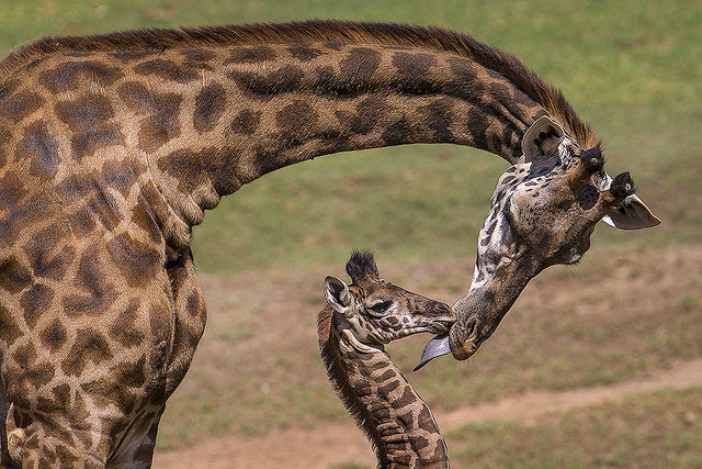 A giraffe calf getting kissed by mom