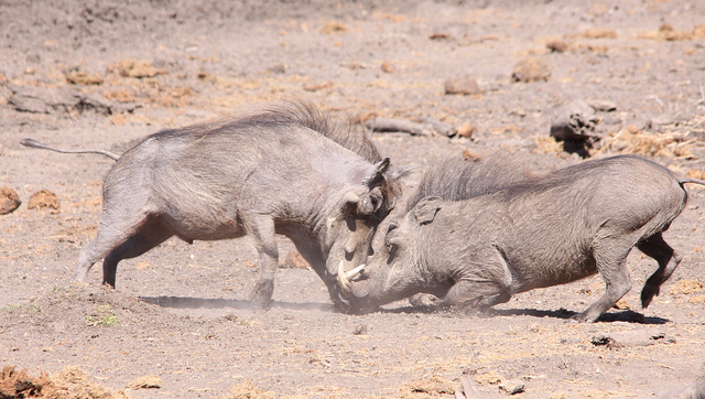 Two male Common Warthogs sparing