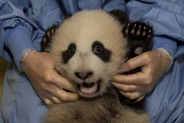 a panda cub gets and exam at the San Diego Zoo
