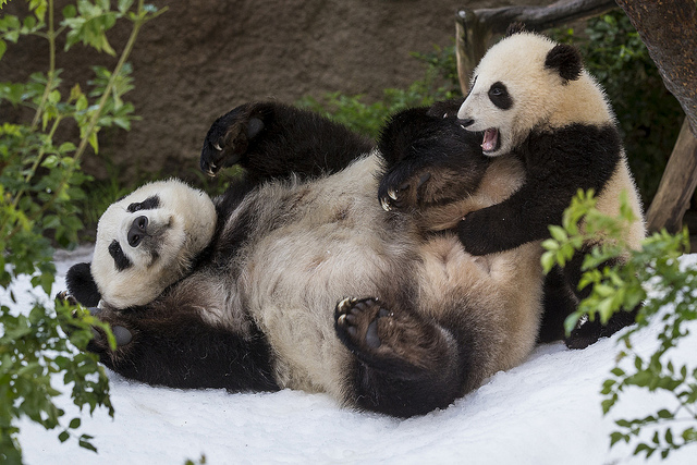 giant pandas enjoying snow enrichment at San Diego Zoo