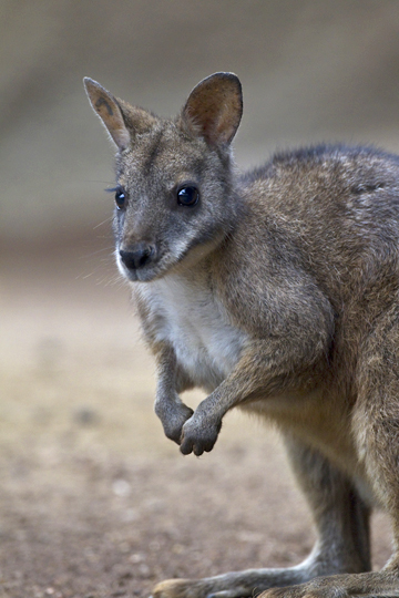 parma wallaby