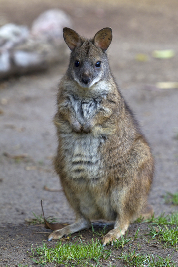 parma wallaby sitting upright