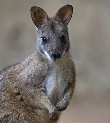Close up of a parma wallaby