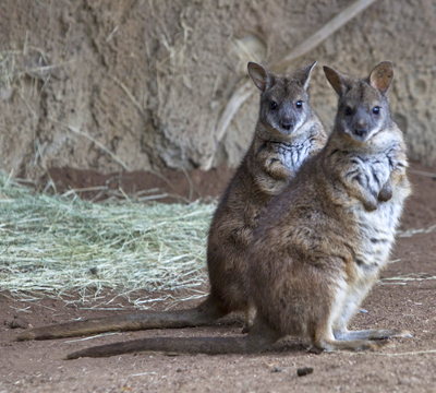 two parma wallaby