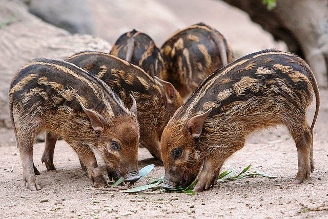 young red river hog siblings