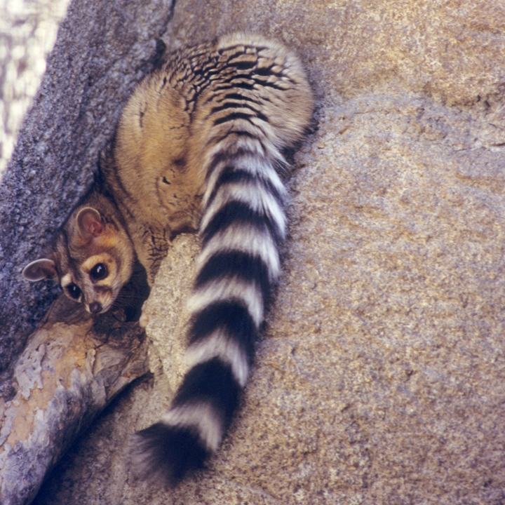 Ringtail on a rock