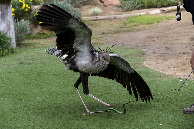 Secretary bird stomping prey