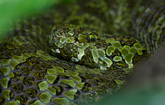 Mangshan pit viper coiled and resting