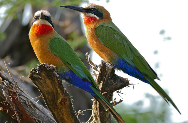 two white fronted bee eaters