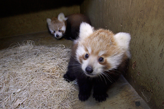 Two young Red Pandas at the San Diego Zoo
