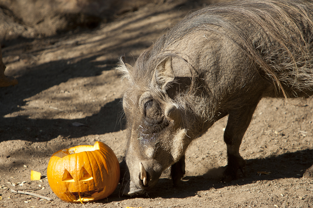 A Common Warthog and a pumpkin treat