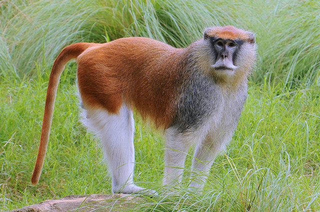 an adult male Western patas monkey