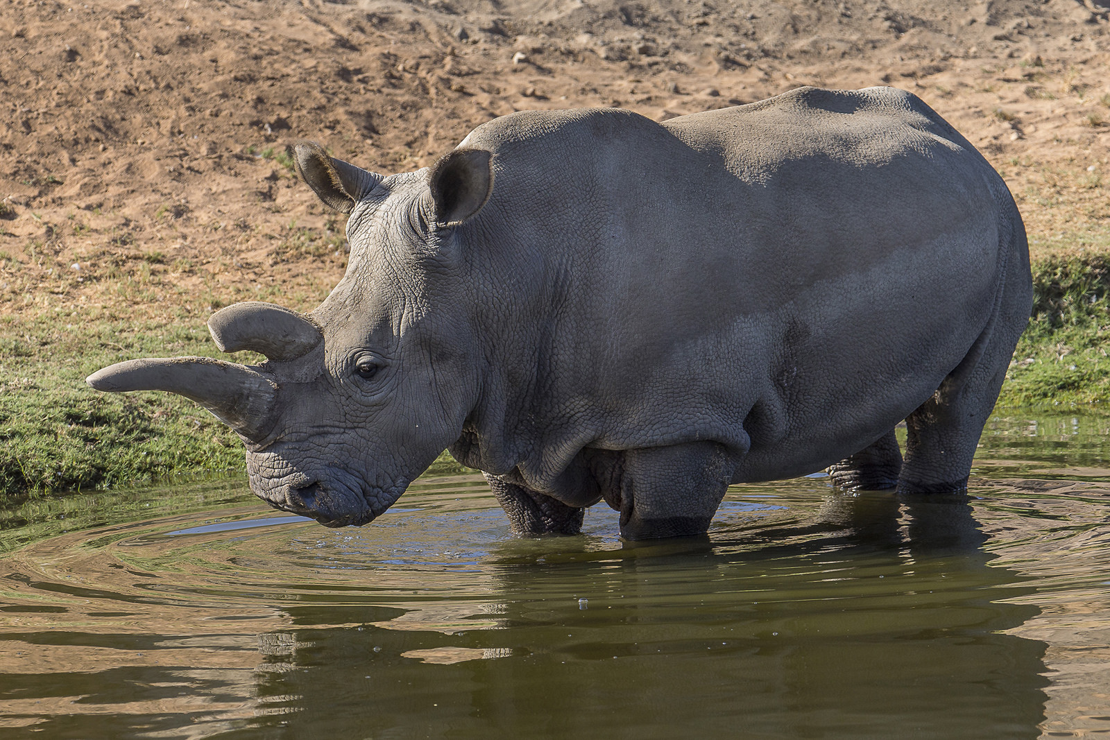 a white rhino in a water hole
