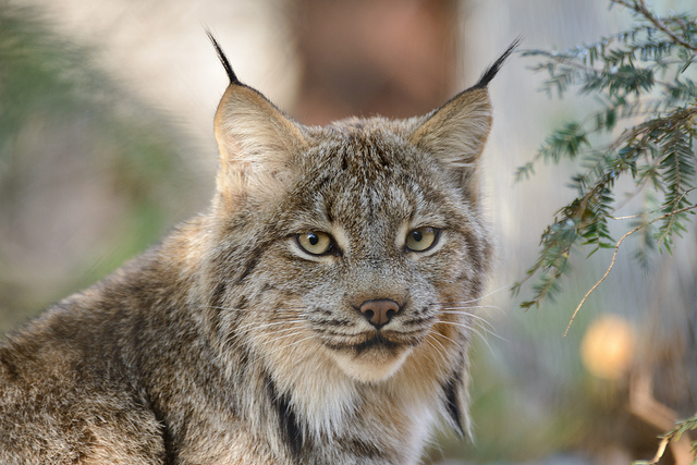 close up of lynx looking at camera through trees