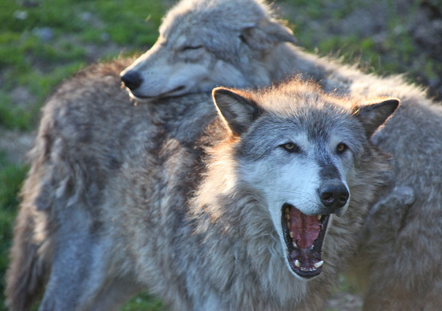 two gray wolves snuggle while one yawns