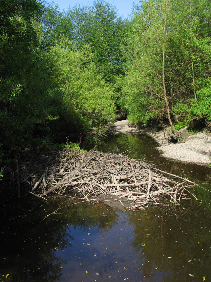 Partial beaver dam across stream