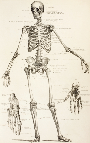 The Human Skeleton (click for source)