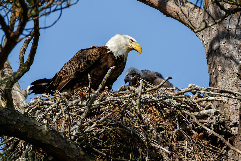 Bald eagle and eaglet in a nest in a tree