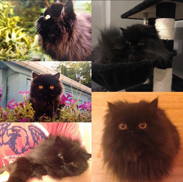 Photo collage of a long haired black cat