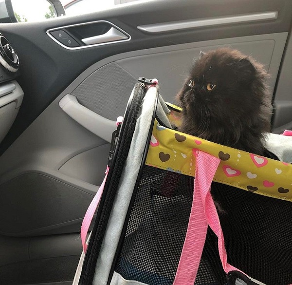 A long-haired black cat sits in a carrier in the front seat of a car