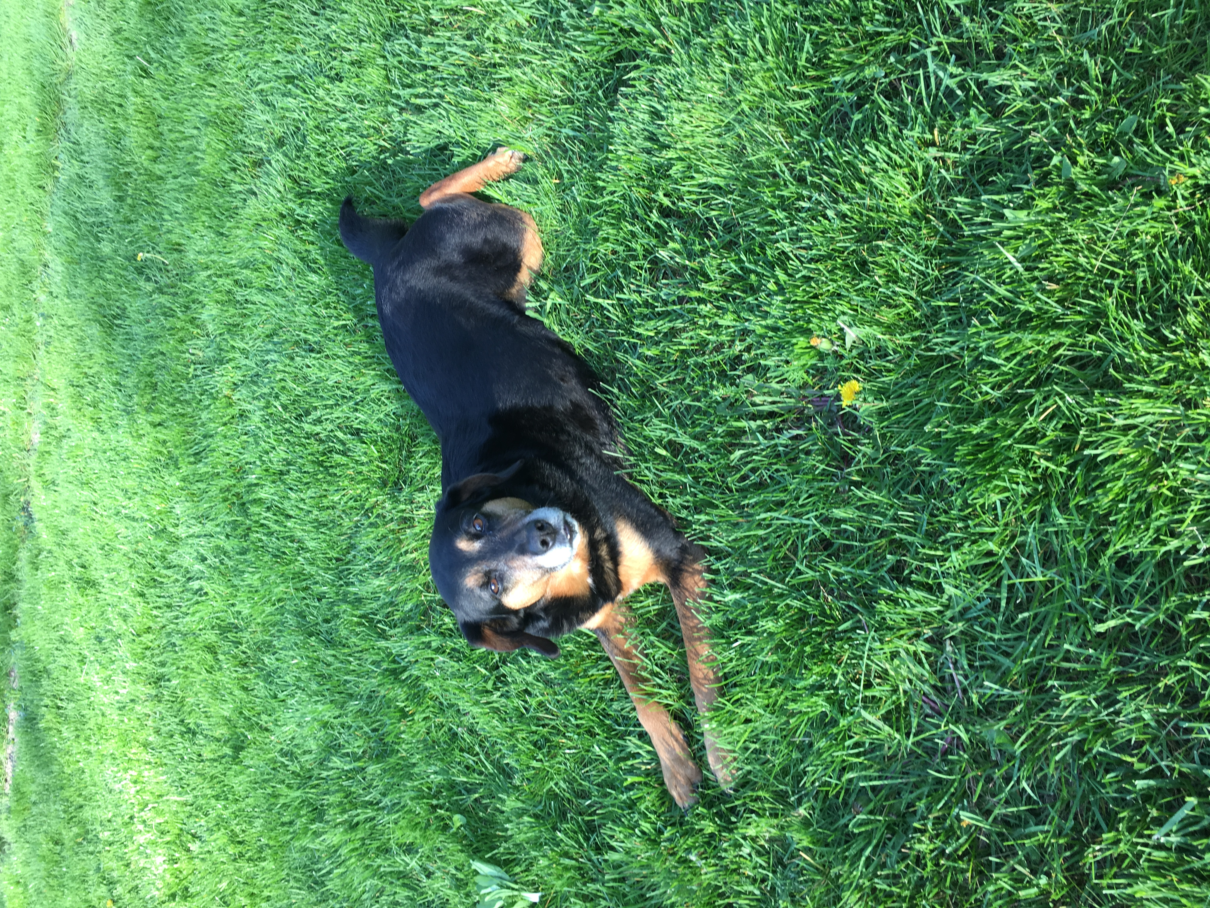 An older black and tan dog relaxes in the grass looking at the camera