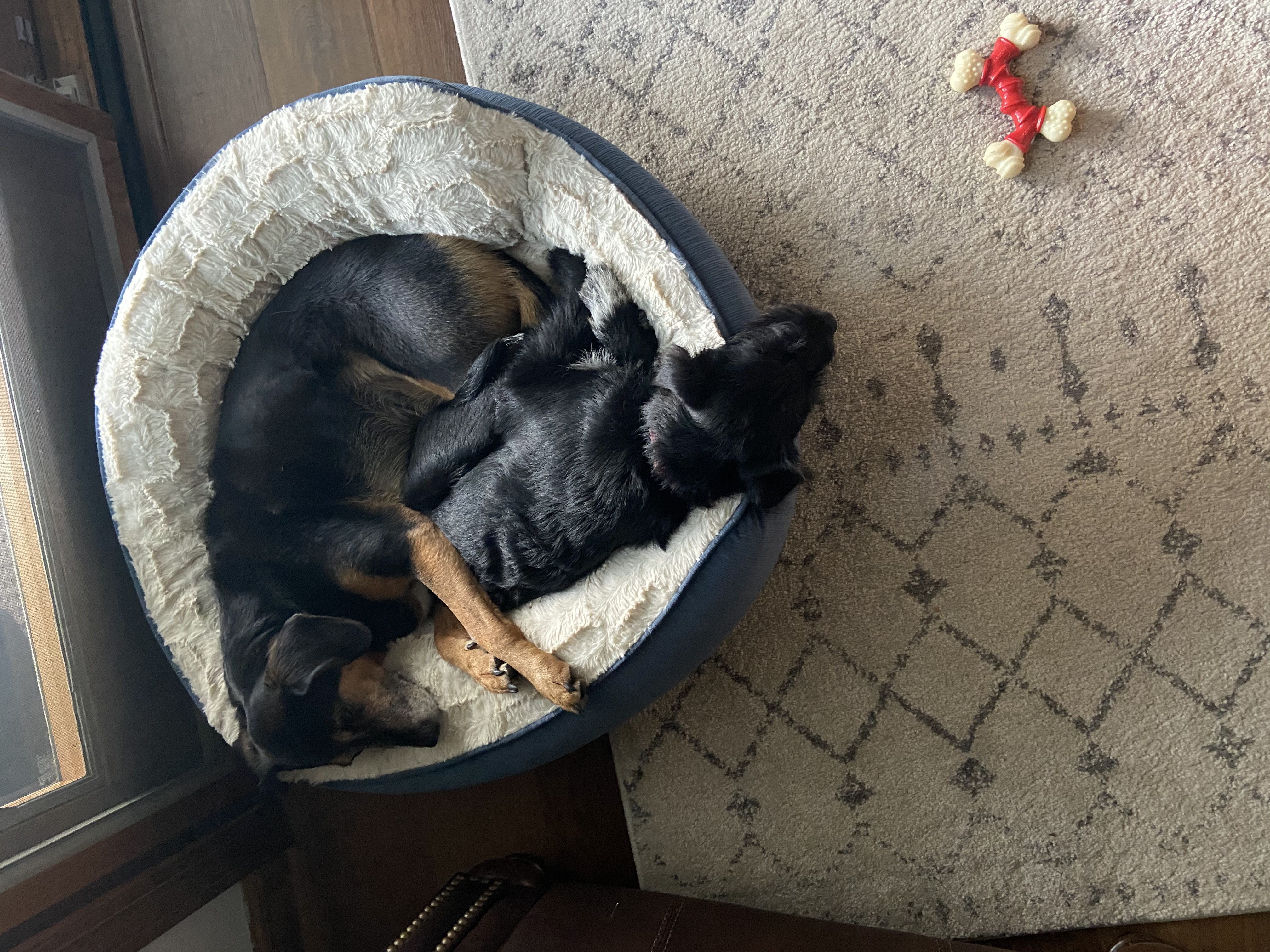 Two dogs, one older and black and tan, the other a black puppy sleep together in a round dog bed
