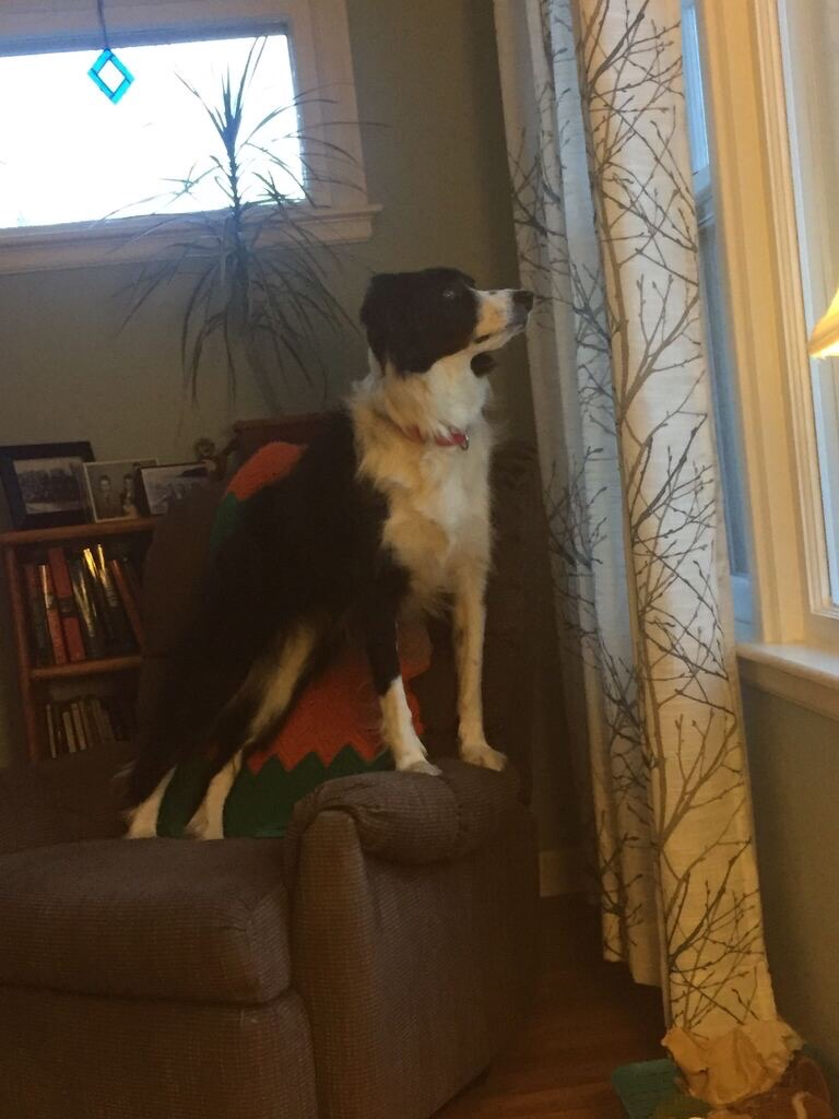 A black and white dog stands on a chair to look out a window