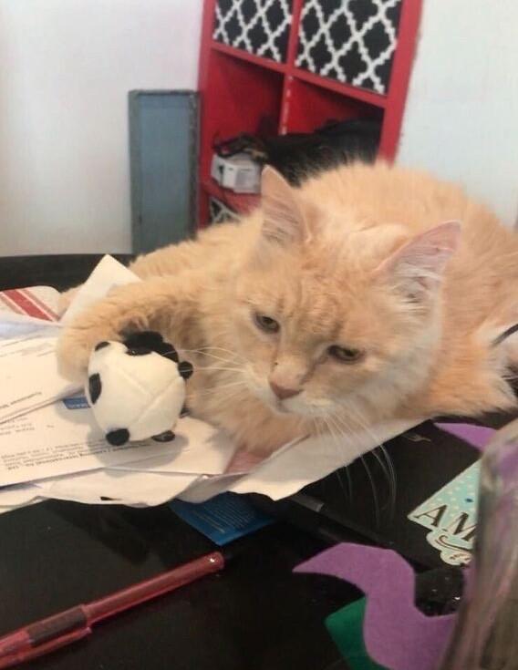 Blond cat lying on a desk