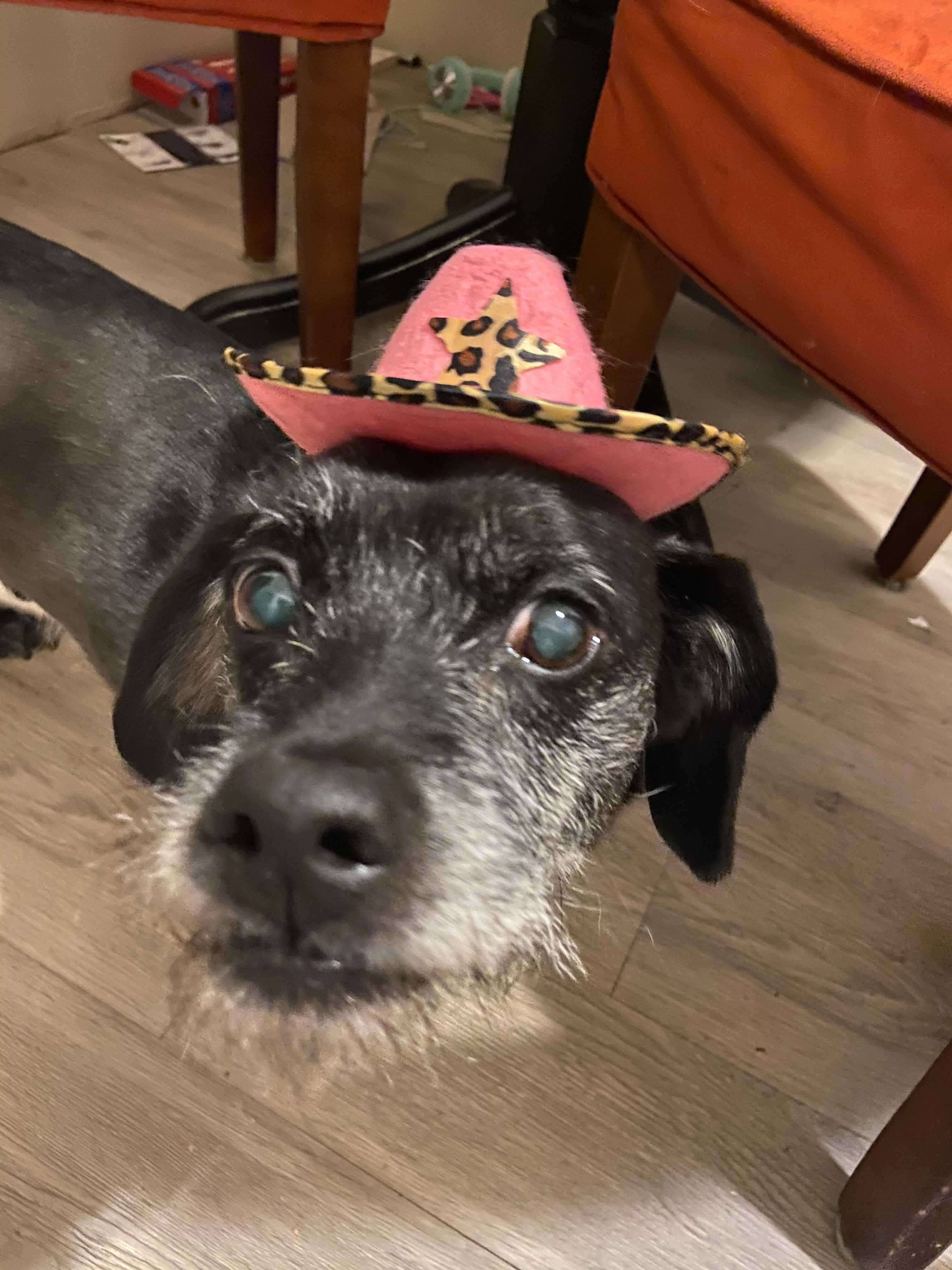 A small, old black and white dog wears a pink cowboy hat with a leopard print star and trim