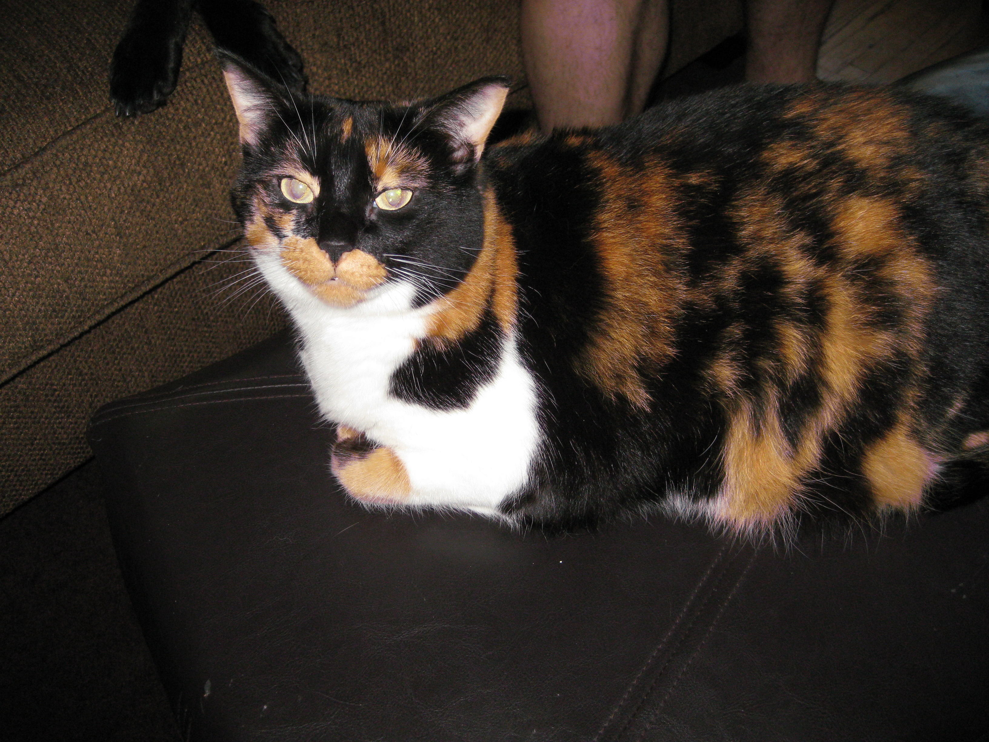 Calico cat sits in loaf form on the floor looking at the camera
