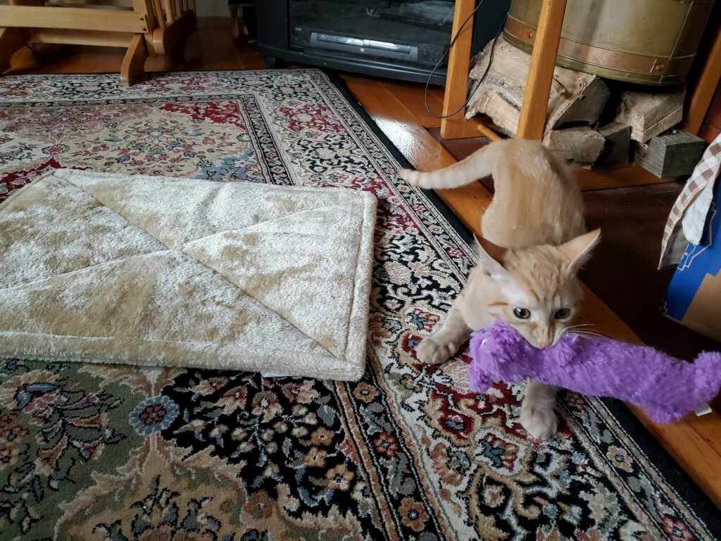 Blond kitten holding a long purple stuffed animal ready to play