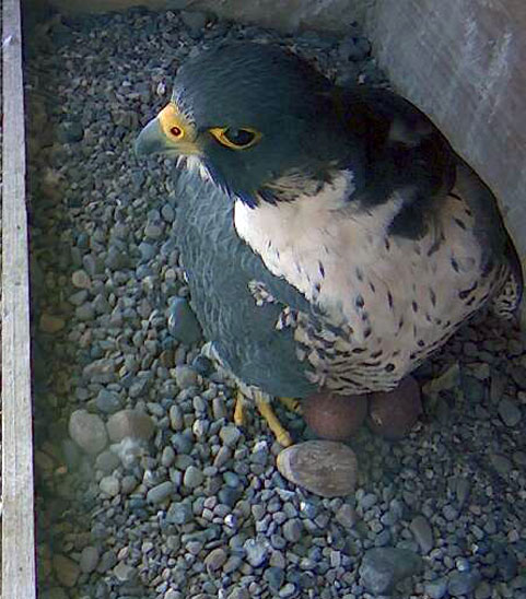 Falcon at UB standing on stony area with clutch of two eggs