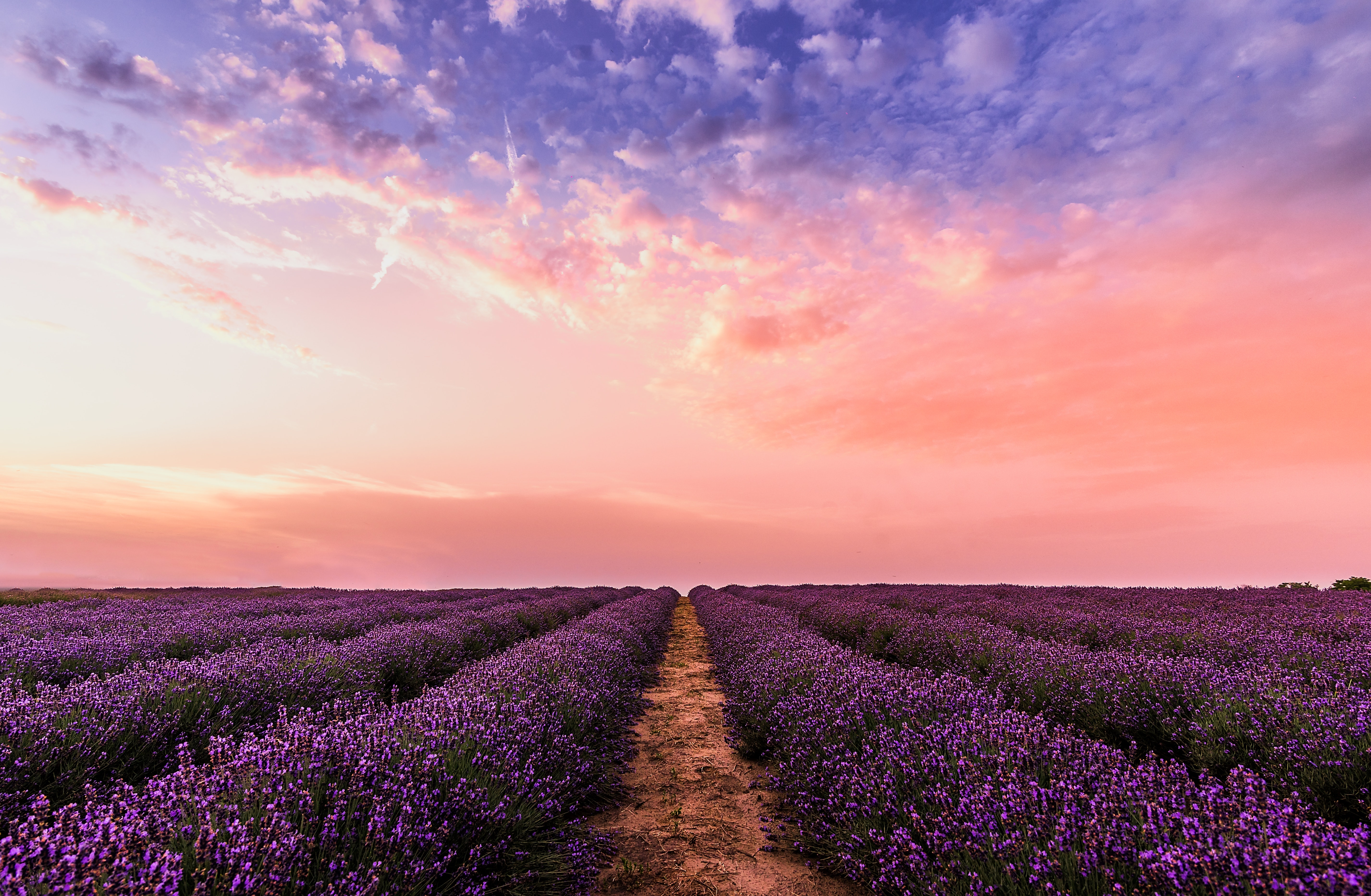 Field of purple lavender in rows leading to the horizon with a pink and blue clouded sky.