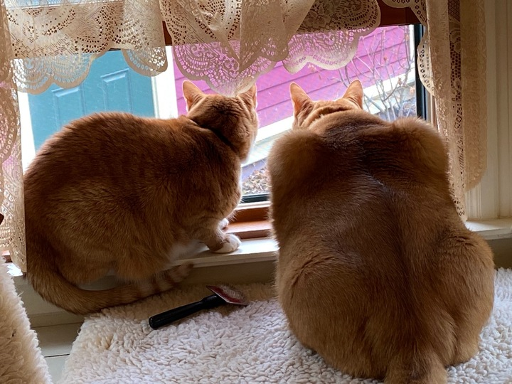 Two orange tabby cats from behind looking out a window