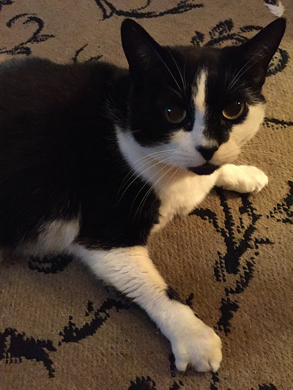 Black and white calico cat staring straight at the camera