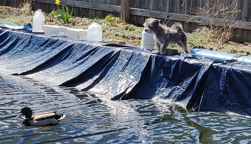 A small gray dog barking at a duck swimming in his pool