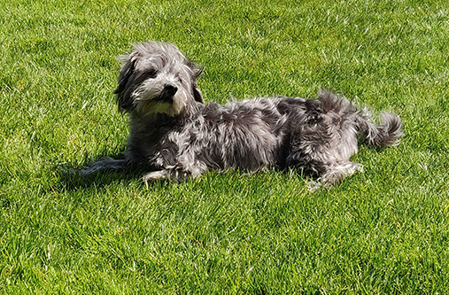 A small gray dog lounging on the grass in the sun