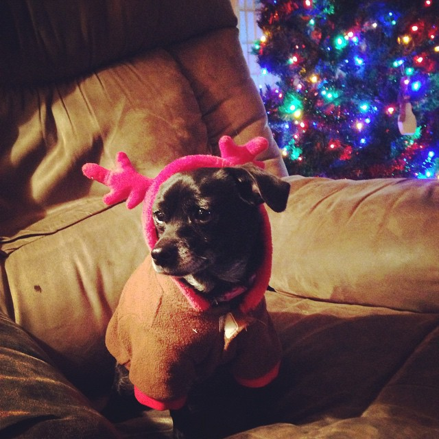 A photograph of a small black dog wearing a reindeer costume for Christmas