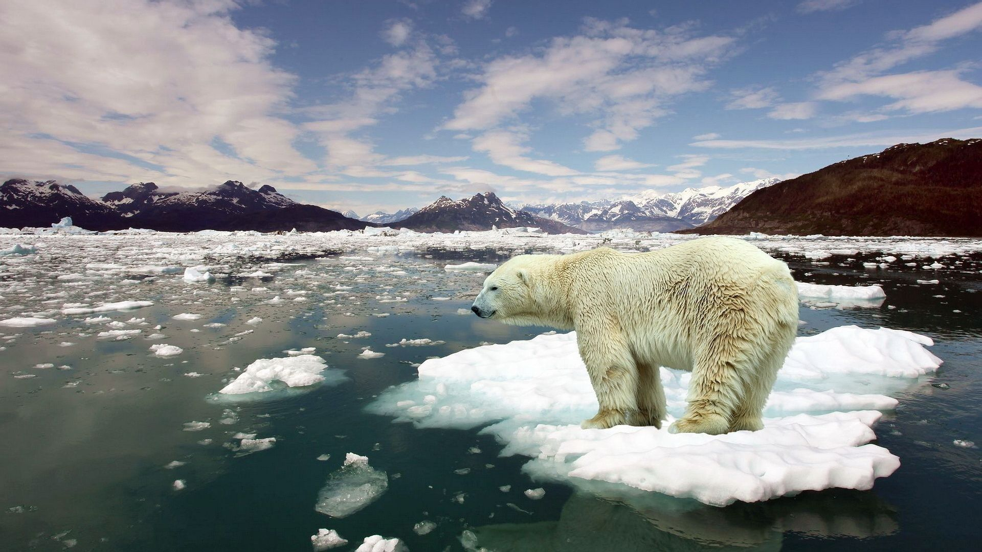 This image shows a polar bear standing on a small floating ice