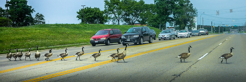 ducks crossing a busy roadway, stopping cars