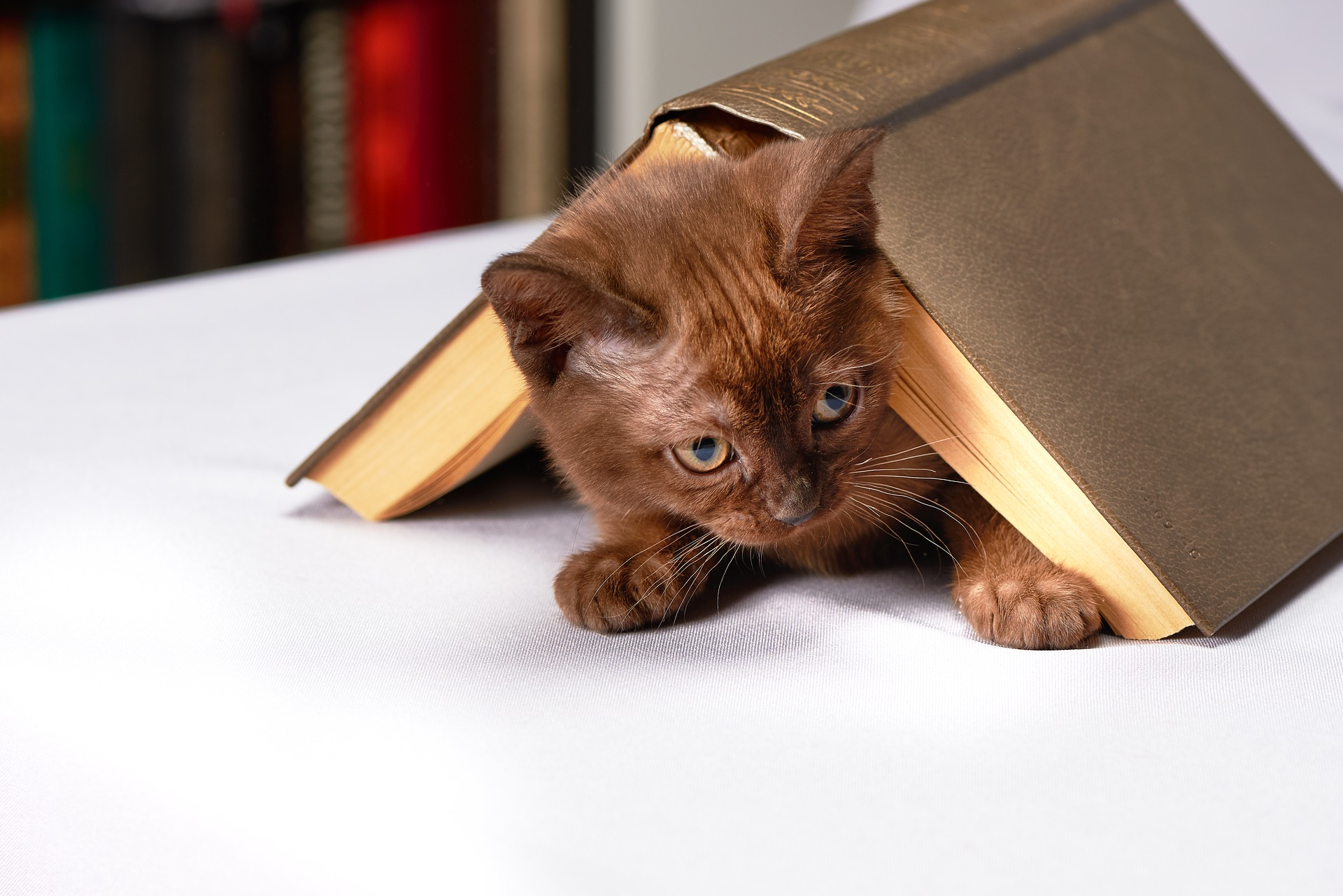 a kitten peeks out from underneath an upturned book