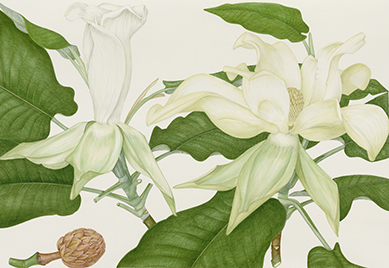 painting of Big Leaf Magnolia (Magnolia macrophylla) by Margaret Stones