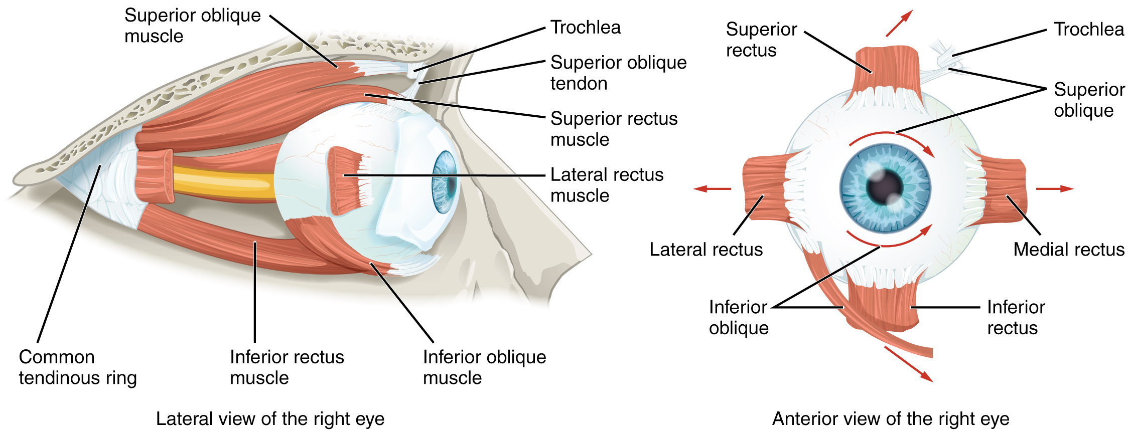 Image of the eyeball listing the names of muscles