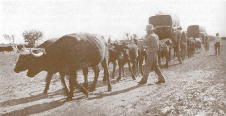 Ox-drawn wagon train hauling cotton to Brownsville/Matamoros during U.S. Civil War